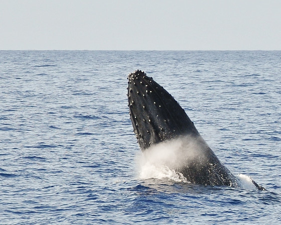 Humpback Whale - Partial breach - Maui 2012