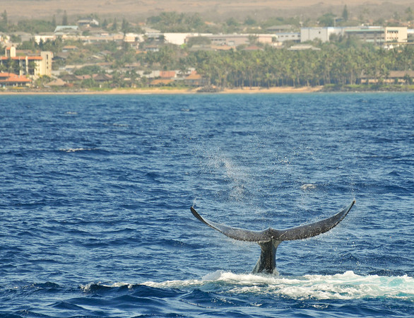 Humpback Tail Slap - Maui 2012
